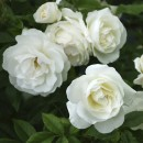 Фемели Уайт (Family White), плетистая роза