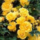 Фемели Еллоу (Family Yellow), плетистая роза