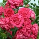 Лагуна (Laguna), плетистая роза