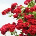 Симпати (Sympathie), плетистая роза