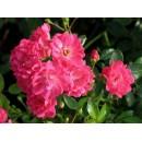 Пинк Фейри (Pink Fairy), почвопокровная роза