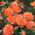 Алегрия (Alegria), миниатюрная роза