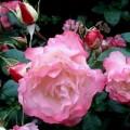 Роза Свитхарт (Sweetheart), флорибунда