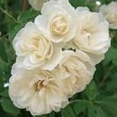 Вайт Перл (White Pearl), полиантовая роза