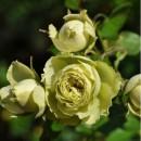 Роза Лавли Грин (Lovely Green), флорибунда