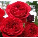 Роткэпхен (Rose Rotkappchen), флорибунда, Kordes