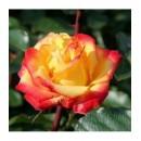 Румба (Rumba), полиантовая роза