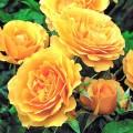 Роза Джулия Чайлд (Julia Child), флорибунда