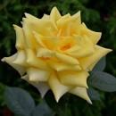 Беролина (Berolina), чайно-гибридная роза