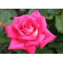 Акапелла (A Capella), чайно-гибридная роза