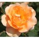 Барбара Хендрикс (Barbara Hendricx), чайно-гибридная роза