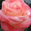 Белла Перл (Belle Perle), чайно-гибридная роза