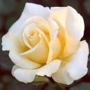 Элина (Elina), Чайно-гибридная роза