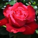 Дам де Кер (Dame de Couer), чайно-гибридная роза