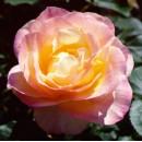Априкот Куин (Apricot Queen), чайно-гибридная роза