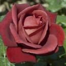 Терракотта (Terrakotta),  чайно-гибридная роза