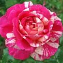 Крейзи Фешн (Crazy Fashion), Чайно-гибридная роза