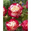 Дабл Делайт (Double Delight), чайно-гибридная роза