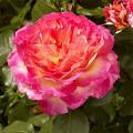 Горджес (Gorgeous), чайно-гибридная роза
