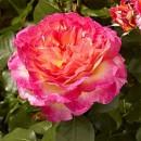 Горджес (Gorgeous) чайно-гибридная роза