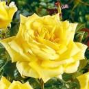 Ландора (Landora), чайно-гибридная роза