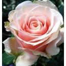 Маджестик (Majestic) чайно-гибридная роза