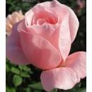 Куин оф Ингланд (Queen of England),  чайно-гибридная роза