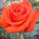 Соло Оранж (Solo Orange), чайно-гибридная роза