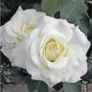 Уайт Симфония (White Symphony), чайно-гибридная роза