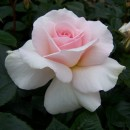 Вирджин Куин (Virgin Queen), чайно-гибридная роза