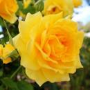 Йеллоу Куин Элизабет (Yellow Queen Elisabeth), чайно-гибридная роза
