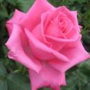 Аква (Aqua), чайно-гибридная роза