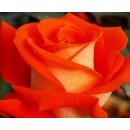 Верано (Verano), чайно-гибридная роза