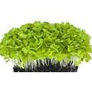 Микрозелень Базилика зеленого, 10 гр..