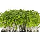 Микрозелень рукколы, 10 гр.